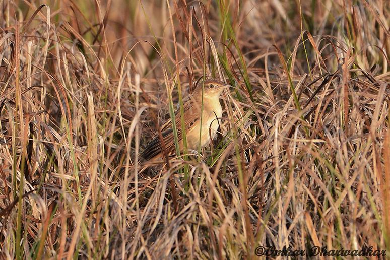 Bristled Grassbird