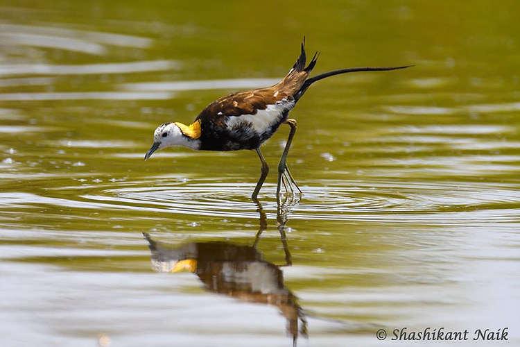 Pheasant-tailed Jacana.jpg