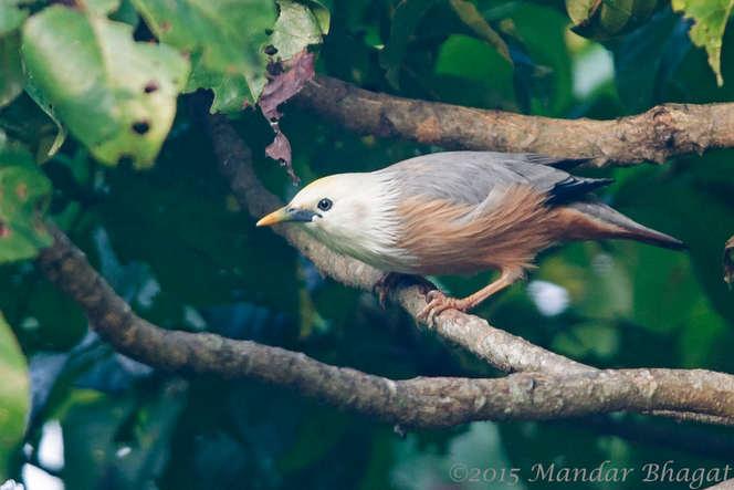 Malabar Starling.jpg
