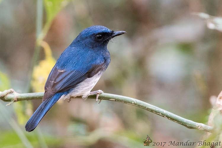 White-bellied blue flycatche MMB_7396_1.