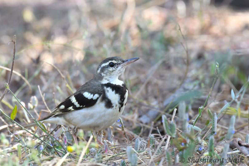 Forest wagtail.jpg