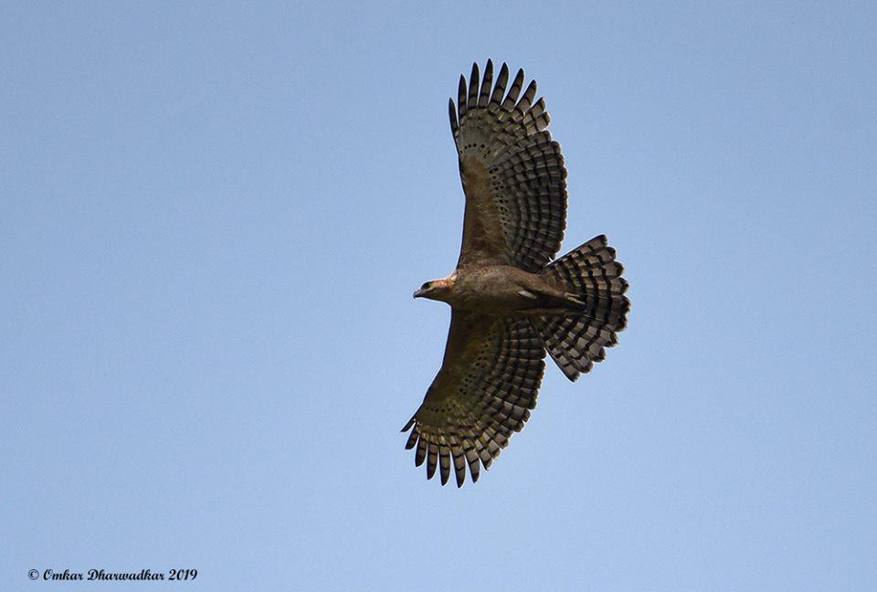 Legge's Hawk Eagle