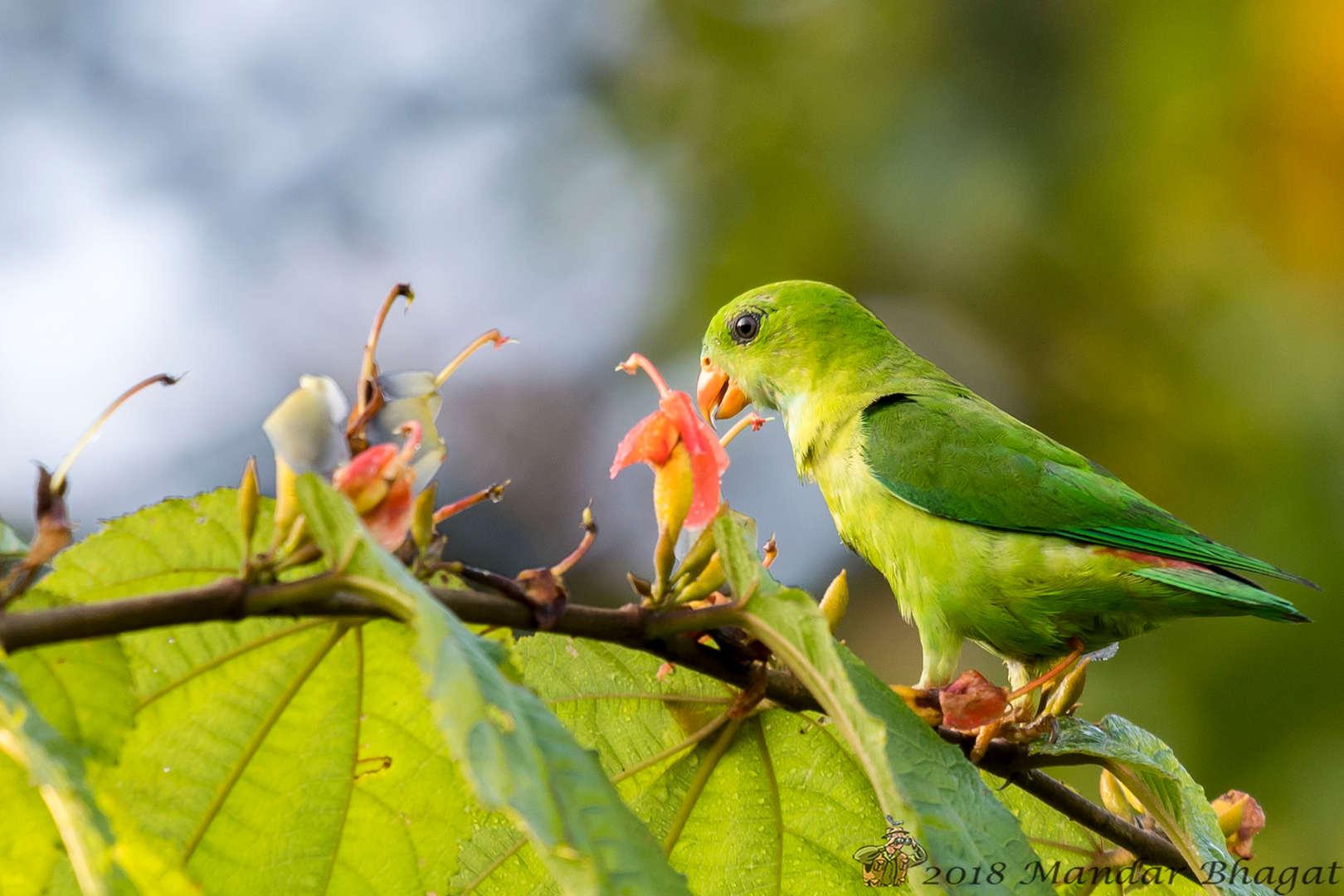 vernal hanging parrot MMB_1086.jpg