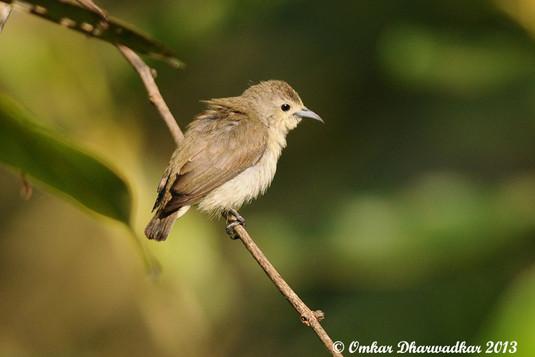 Nilgiri Flowerpecker