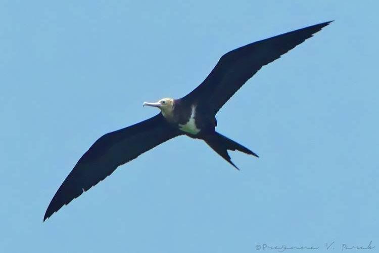 Lesser Frigatebird