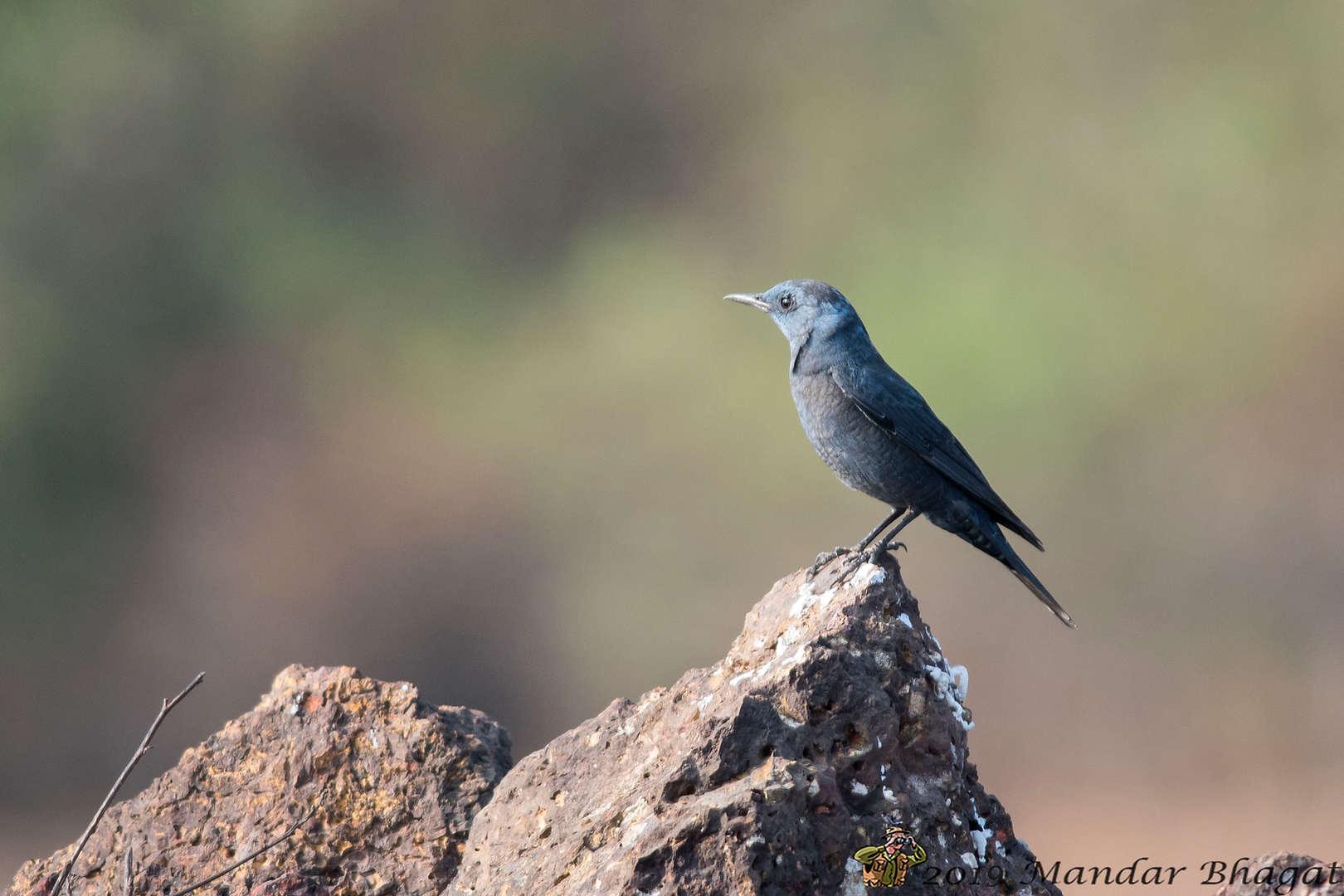Blue-Rockthrush MMB_4520.jpg