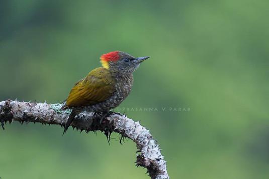 Lesser Yellow-naped Woodpecker