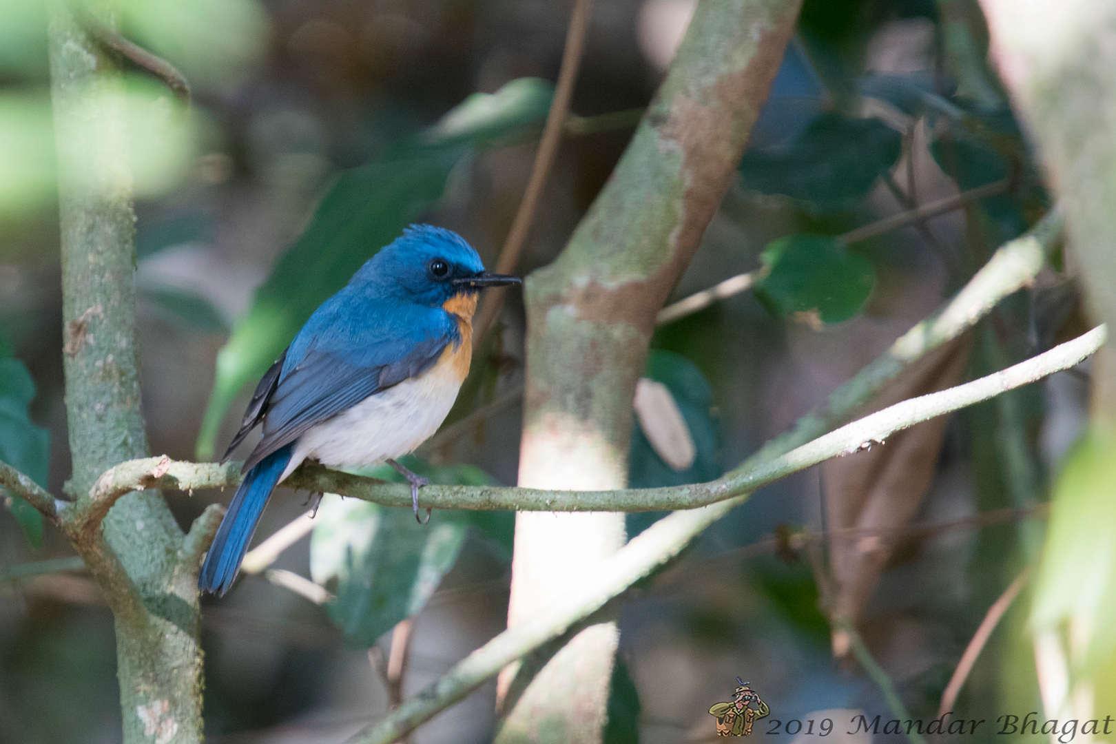 Tickell's blue Flycatcher MMB_5808.jpg