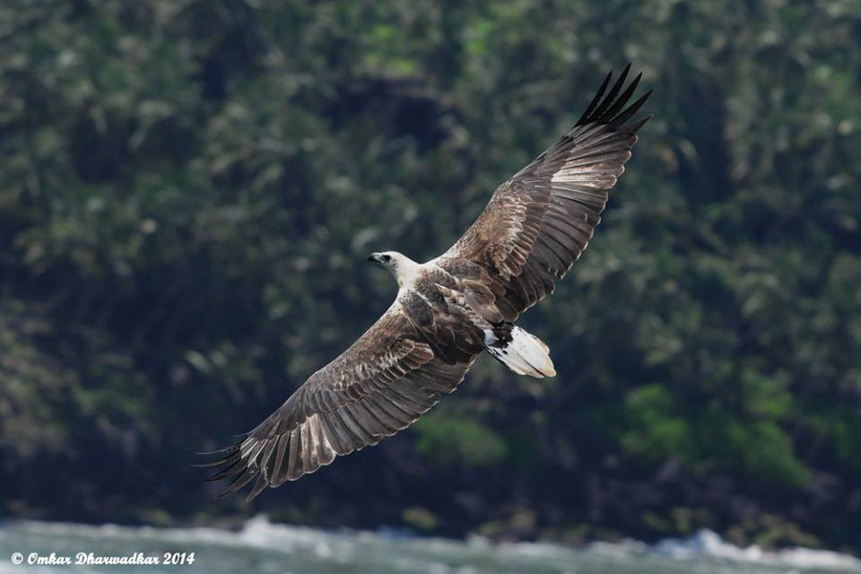 White-bellied Sea Eagle