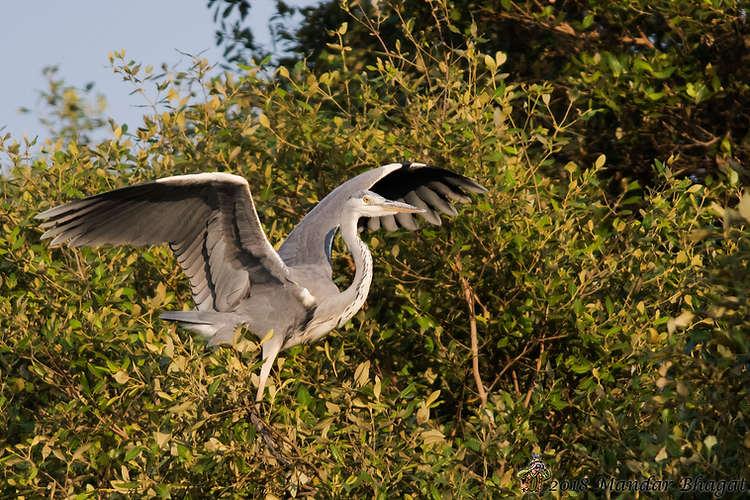 Grey Heron MMB_2695.jpg
