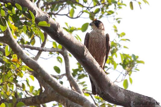Shaheen Falcon Falcon
