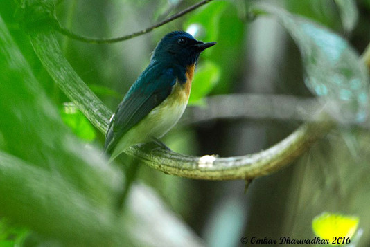 Blue-throated Flycatcher