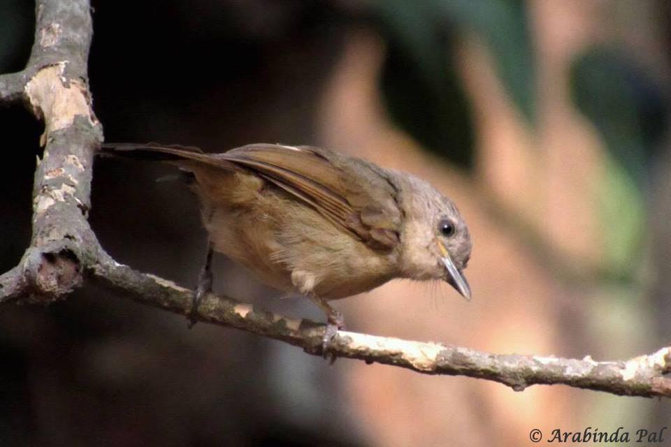 Brown-cheeked Fulvetta