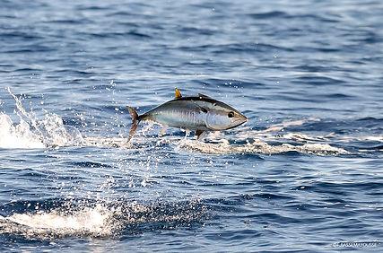 Frederic Bassemayousse - Photographe - Mi Air Mi Eau Photo, Méditerrannée, Mediterannean sea, bluefin tuna, thon rouge