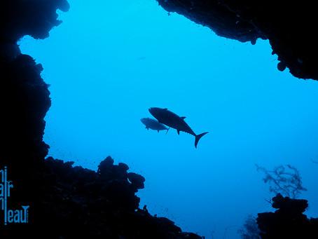 Le thon, et les poissons apparentés représentent 40 espèces différentes