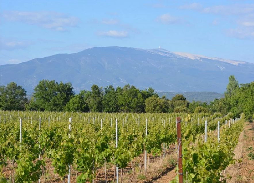Le Chat Blanc vineyards in Ventoux