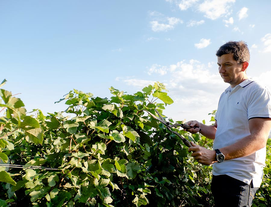 Restauring the vineyards
