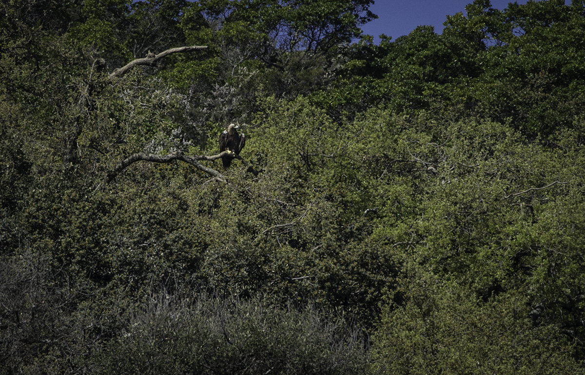 Águila imperial (A. helia. adalberti