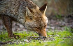 zorro común (Vulpes vulpes)