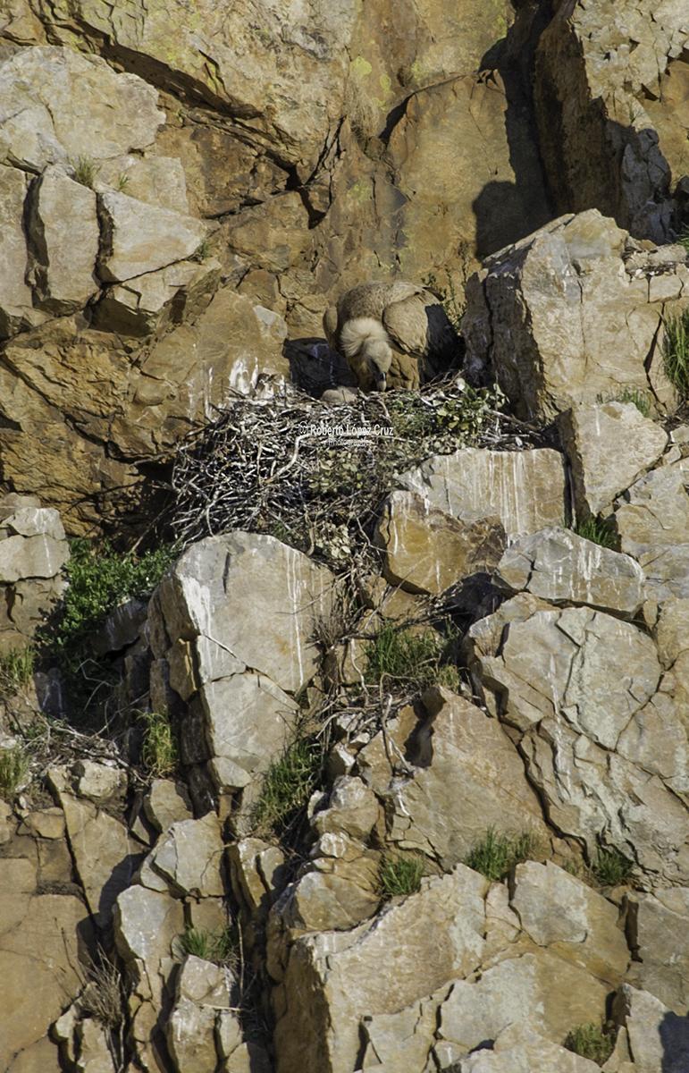 Nido de Buitre leonado.(Gyps fulvus)