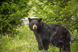 Oso negro (Yellowstone N.P.)