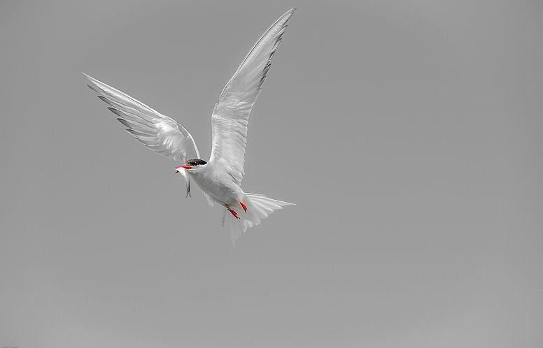 Charran ártico de vuelta al nido