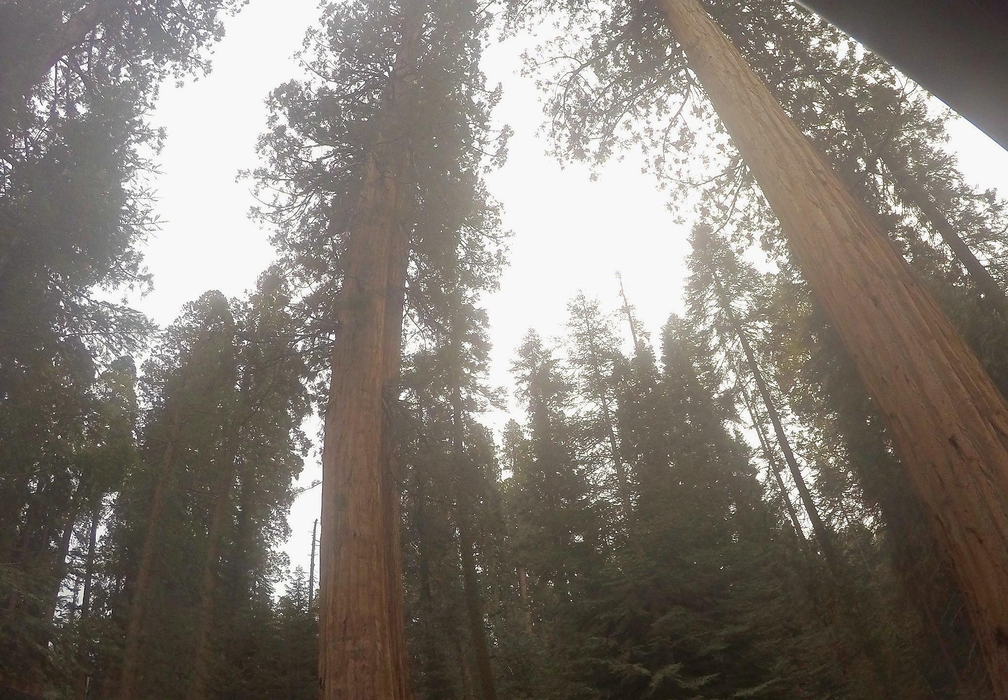 Mammutbäume werden bis zu 90 Meter groß