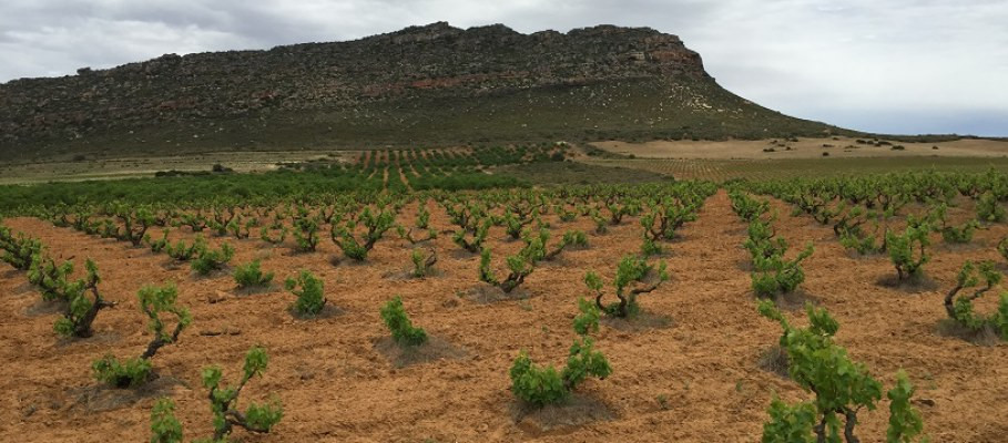 Old vines such as these, which are dry farmed, are especially at risk from the drought.