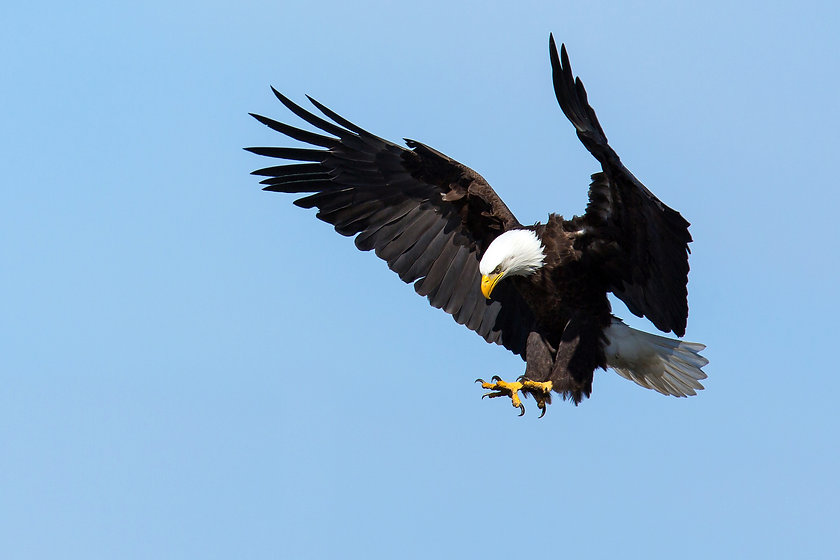 Bald-Eagle-landing-by-Mick-Thompson.jpg