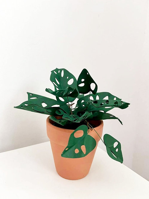 Potted Swiss Cheese Plant