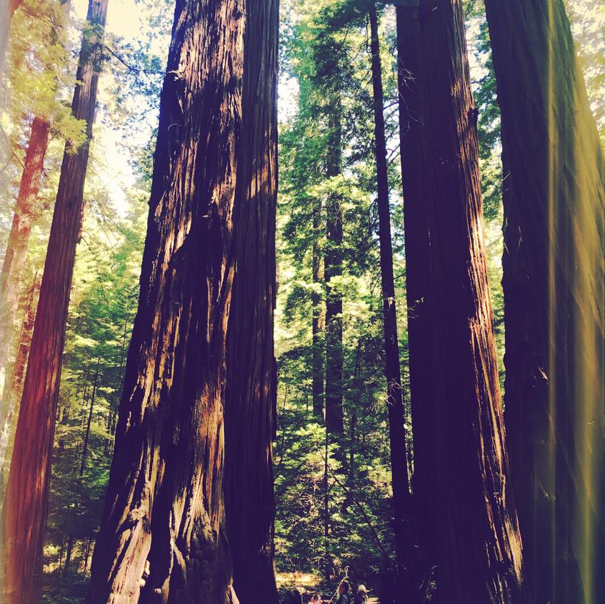 Giant trees...
