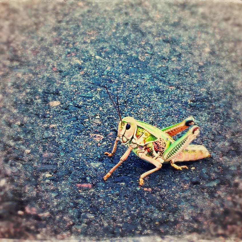 Horse-size grasshopper