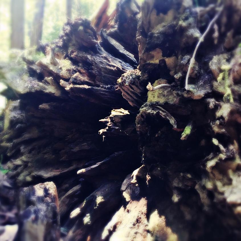 Fallen tree's roots