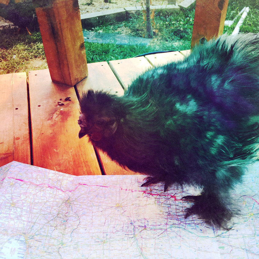 Rooster inspecting my map