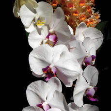 Orchid Collage