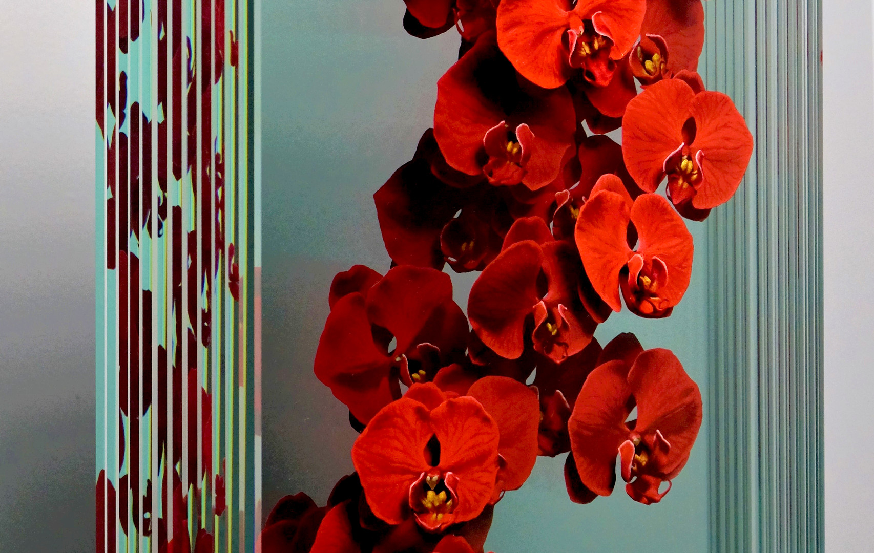 Phalaenopsis in Red (Side View).JPG