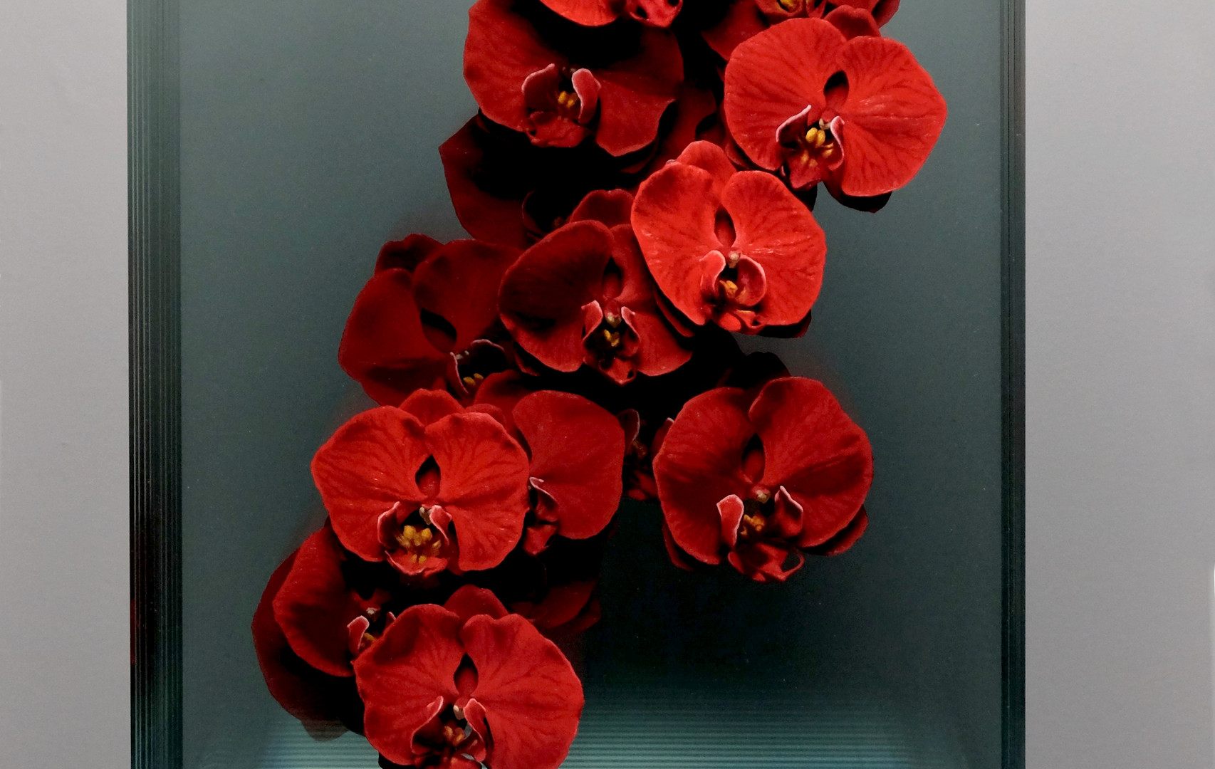 Phalaenopsis in Red (Front View).JPG