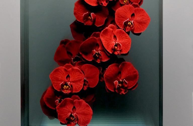 Phalaenopsis in Red (Front View).JPG