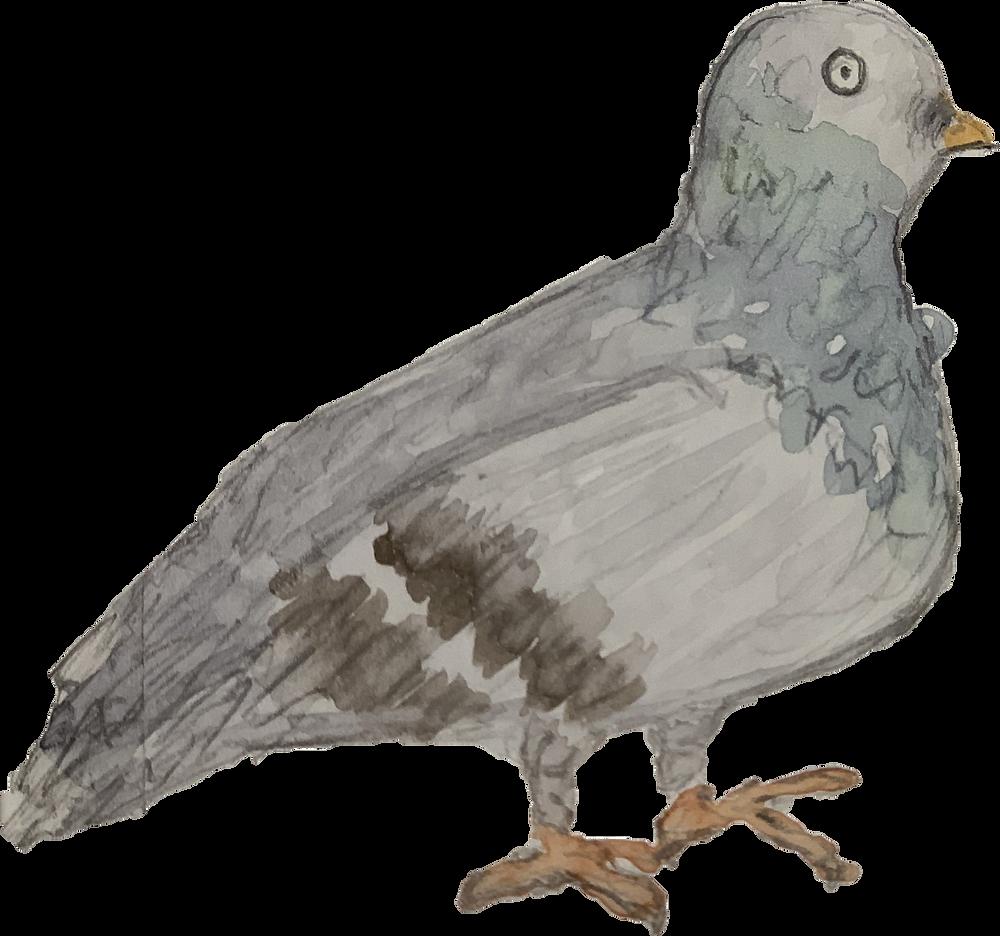 Rock Pigeon: Ferr