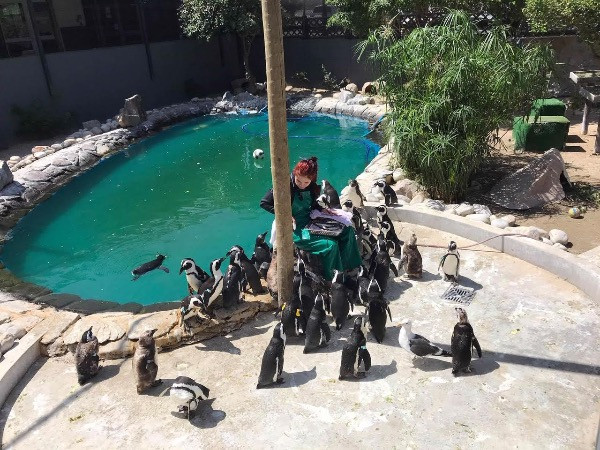 Hungrige Pinguine warten auf ihre Mahlzeit