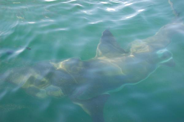 Ein Weisser Hai in Gansbaai