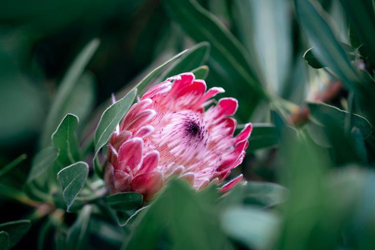 Ob haarige Protea oder Königsprotea, entdecke diese speziellen Pflanzen
