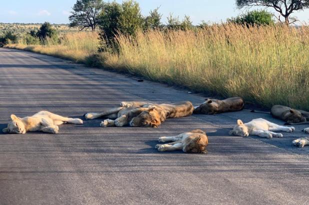 Löwen machen mitten auf der Straße ein Nickerchen. Foto: RICHARD SOWRY / KRUGER NATIONALPARK