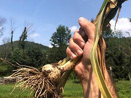 Garlic Pulling Field Day