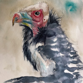 Young white headed vulture