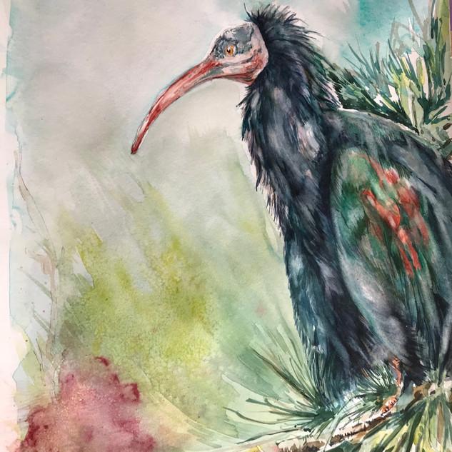 Northern Bal Ibis