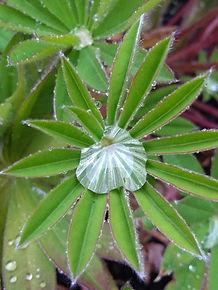 Raindrop on lupin.jpg