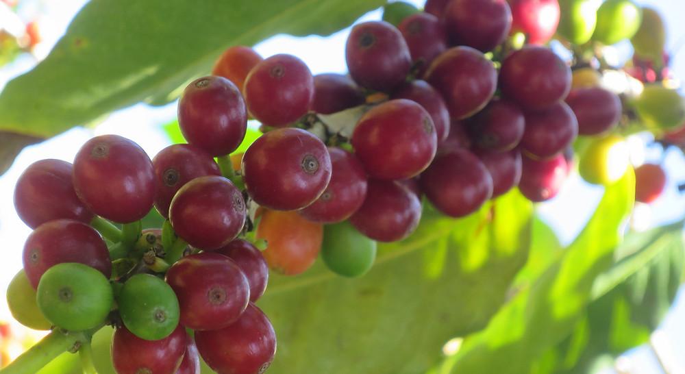 真っ赤に熟したコーヒーの実