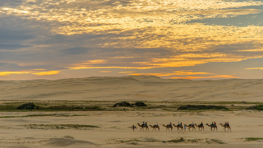 a row of camels walking in the desert