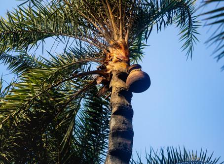 Jaggery & Palm Sugar - The Alternative Sweeteners